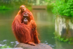 Free Young Orangutan Is Sleeping On Its Mother Stock Photos - 68072143