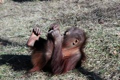 Young Orangutan Lying On The Ground Royalty Free Stock Images