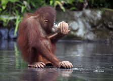 Young orangutan Stock Photography