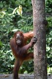 Young Orangutan. A young orang-utan stands against a tree in Borneo's Tanjung Putting national park Stock Image