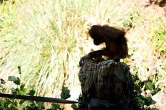 Young orangutan from Paignton zoo. stock photo