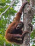 Young orangutan playful sports on a high tree (Kumai, Indonesia) Stock Photography