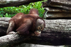 Young orangutan (Pongo pygmaeus) Royalty Free Stock Photos