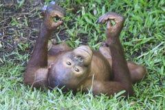 Young Orangutan Royalty Free Stock Photography