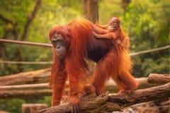 Young orangutan is sleeping on its mother Royalty Free Stock Photo