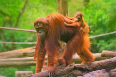 Young orangutan is sleeping on its mother stock photos