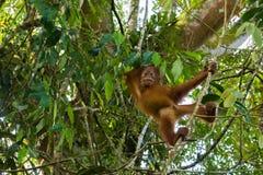 Young orangutan standing on a thin branch and wants to get acqua. Young Sumatran orangutan standing on a thin branch and wants to get acquainted (Sumatra Stock Photos
