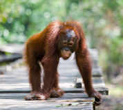 Young orangutan standing on a wooden platform in the jungle. Indonesia. The island of Kalimantan Borneo. Stock Image