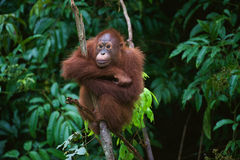 Young Orangutan on the tree. Indonesia, Borneo - Young Orangutan sitting on the tree