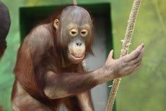 Young orangutang Stock Image