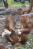 Young orangutans eating gruel. At a sanctuary in Central Kalimantan, Indonesia Royalty Free Stock Image