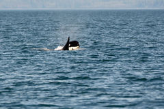 Young Orca. Swimming with mother in Pacific Ocean stock photo