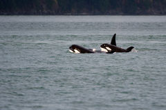 Young Orcas. Swimming with mother in Pacific Royalty Free Stock Photo