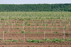 Young orchard. Row of fruit trees. Fruit growing Stock Photo