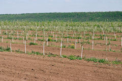 Young orchard. Row of fruit trees. Fruit growing Stock Image