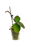 Young orchid in a flowerpot isolated on a white Stock Photos