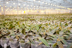 Young orchid plants in huge glass house Stock Images