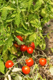 Young organic cherry tomatoes Stock Photography