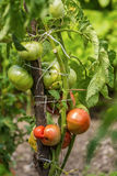 Young organic cherry tomatoes Royalty Free Stock Photos