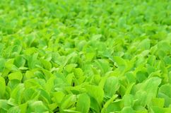 Young organic Chinese cabbage garden, agriculure and food concep. Young organic Chinese cabbage plantation, agriculure and food concept Royalty Free Stock Images