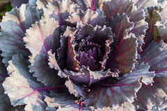 young organic collard purple. Royalty Free Stock Photography
