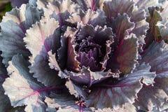 Young organic collard purple. Fresh, young organic collard purple Royalty Free Stock Photography