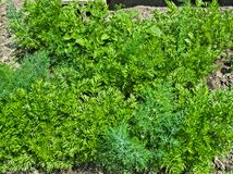 Young organic parsley growing in garden, spring time Stock Photo