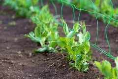 Young organic pea plants in the garden creeping through a grid stock photo