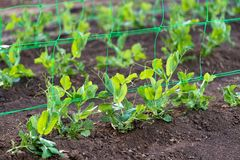 Young organic pea plants in the garden creeping through a grid royalty free stock photography