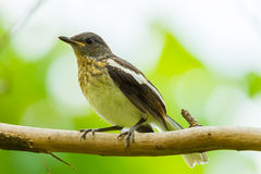 Young Oriental Magpie Robin bird Royalty Free Stock Images