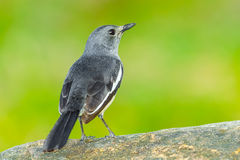 Young Oriental Magpie Robin Stock Photos