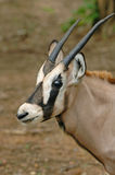 Young oryx Royalty Free Stock Image