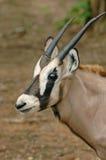 Young oryx. In chiang mai night safari Royalty Free Stock Image