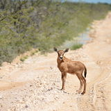 Young oryx antelope. Photo of young oryx (gemsbook) antelope from Etosha national park in Namibia Royalty Free Stock Photo