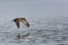 Young Osprey Flight Reflection. Young Ospery in flight over water wings down, after a failed fishing attempt Stock Image