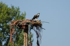 Young Osprey Calling Out While Perched on its Nest. Young Osprey Calling Out While Perched High on its Nest Stock Photography