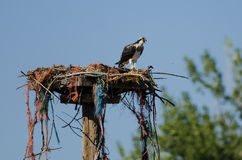 Young Osprey Calling Out While Perched on its Nest. Young Osprey Calling Out While Perched High on its Nest Royalty Free Stock Photo