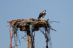 Young Osprey Calling Out While Perched on its Nest. Young Osprey Calling Out While Perched on its Raggedy Nest Stock Images