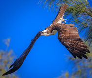 Young Osprey dives from perch in search of fish. Osprey dives from perch in search of a fish Royalty Free Stock Photos