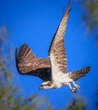 Young Osprey in flight fishing Stock Photos