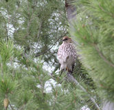 Young Osprey Hawk. A young osprey hawk sits in a pine tree in the rain. He patiently waits as looks for food on the ground Royalty Free Stock Image
