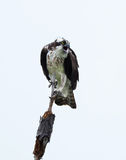 Young Osprey Shows His Displeasure Isolated on White Royalty Free Stock Images