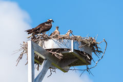 Young Ospreys Pandion haliaetus with adult in nest Royalty Free Stock Photography