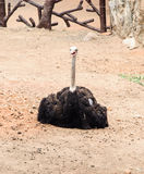 Young ostrich Royalty Free Stock Image
