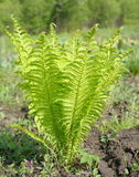 Young ostrich fern Stock Image