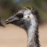 Young ostrich in the outback. Near Melbourne royalty free stock photography