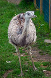 Young Ostrich or Rhea. A young rhea wobbles along its way in a small garden Stock Photos