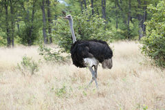 Young ostrich  (struthio camelus) Royalty Free Stock Image
