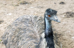Young ostrich. Royalty Free Stock Image
