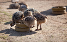 Young Ostriches Stock Image